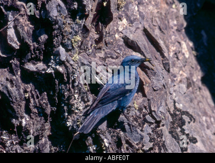 Blue Rock Thrush perch on rockface near nest with food Portugal - Stock Photo