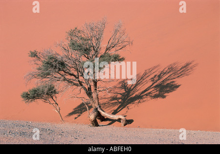 A gnarled old acacia tree just surviving at the foot of Dune 45 in the Namib Naukluft National Park Namibia south - Stock Photo