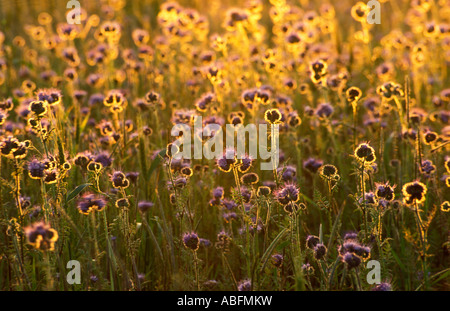 backlit lilac thistles at sunset - Stock Photo