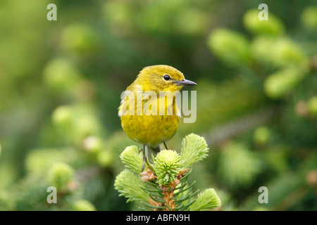 Pine Warbler Perched in Alcocks Spruce - Stock Photo