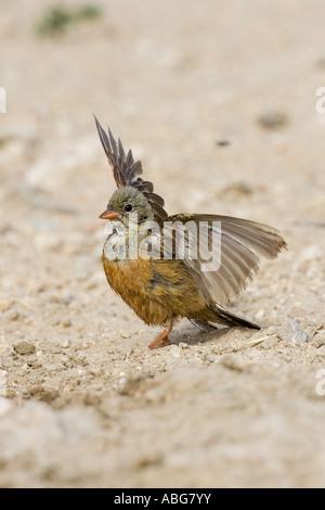 Ortolan Bunting with wings spread in courtship display - Stock Photo