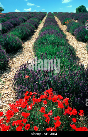 French lavender field in summer and red poppies - Stock Photo