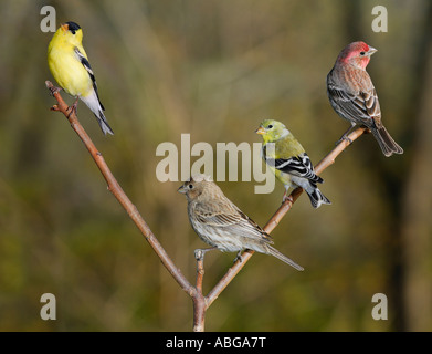 Pairs of male and female House finches Haemorhous mexicanus and American Goldfinches Spinus tristis on a perch in - Stock Photo