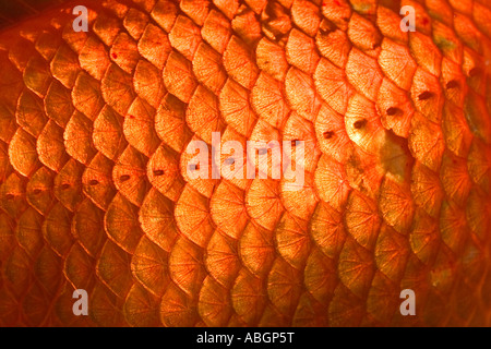 Goldfish, scales, close up, Carassius auratus, captive - Stock Photo