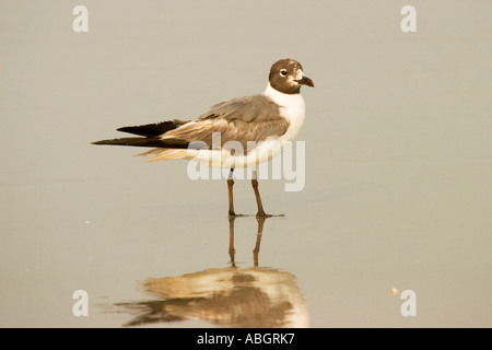 Stock photo of a Laughing Gull at waters edge - Stock Photo