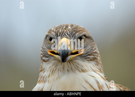 Ferruginous hawk, Buteo regalis, close-up of face, looking at camera - Stock Photo