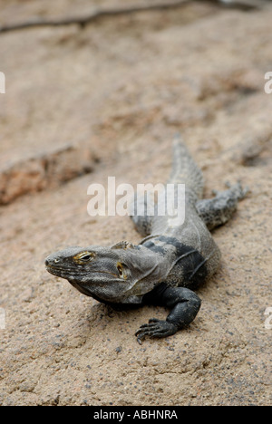 Spiny tailed iguana, Ctenosaura hemilopha or similis, on a rock, Sonora Desert - Stock Photo