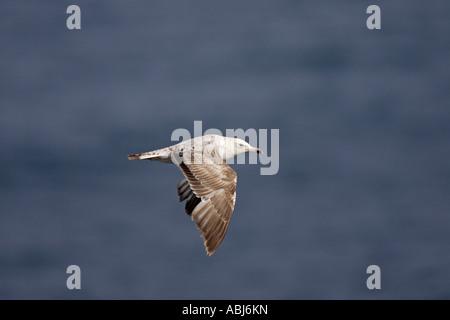 Yellow legged Gull in flight - Stock Photo
