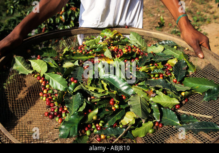 Vale do Paraiba, Brazil. Coffee harvest, beans and leaves on a large sieve. - Stock Photo