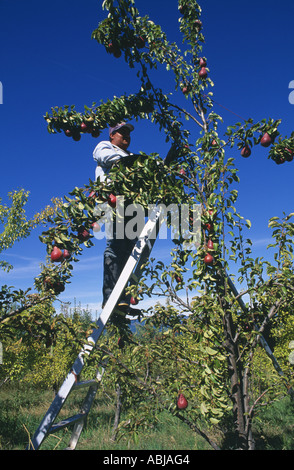 MAN ON LADDER HARVESTING ORGANICALLY GROWN PEARS MT HOOD OREGON - Stock Photo