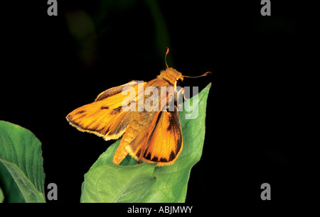 Fiery Skipper Hylephila phyleus Cove Lake south of Paris ARKANSAS USA Male Hesperidae Hesperiinae - Stock Photo