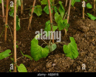 Young runner bean plants growing up support bamboo canes for Soil in english