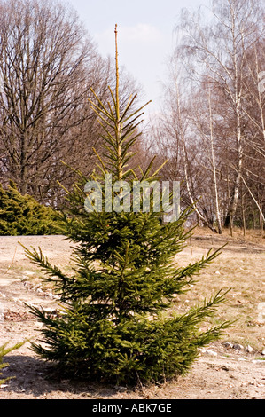 European or common silver fir Pinaceae Abies Alba - Stock Photo