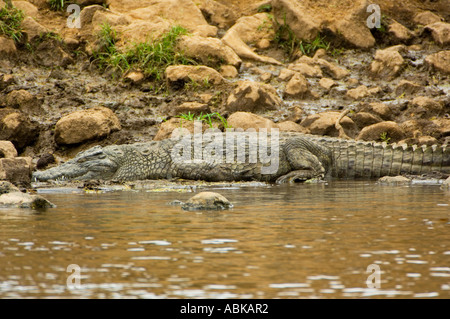 crocodile on the bank shore waterside river Tsavo west East africa National park Kenya MZIMA SPRINGS - Stock Photo