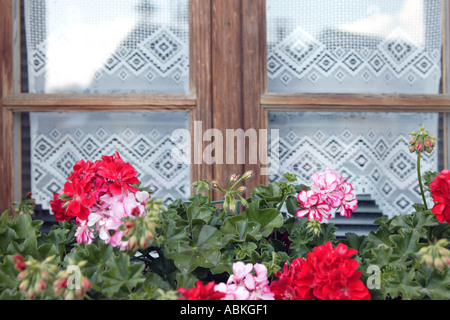 Typical traditional window display of lace curtains and geraniums in Alpine village of Leysin in Valais in Switzerland - Stock Photo