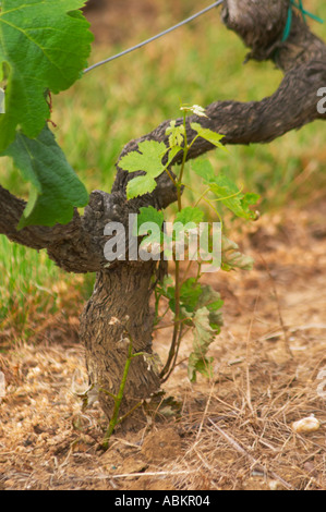 An old Merlot vine with gnarled bark and a young shoot coming from the root half of the graft, the 'American' part - Stock Photo
