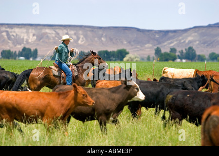 A rancher on horseback during a cattle roundup near Grandview Idaho - Stock Photo
