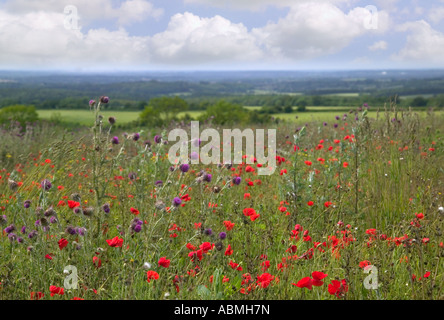 Landscape of wild poppies and thistles in a meadow Beacon Hill Winchester Hampshire - Stock Photo