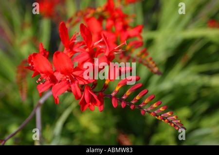 Crocosmia Montbretia red orange flowers in bloom July - Stock Photo
