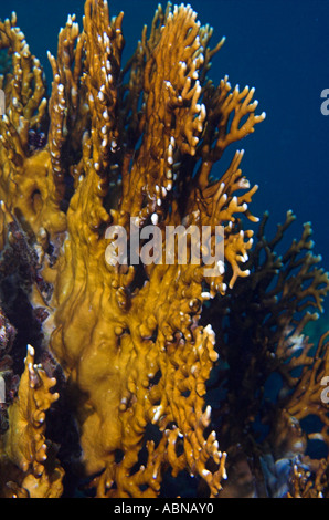 Fire coral Millepora dichotoma in Red Sea - Stock Photo