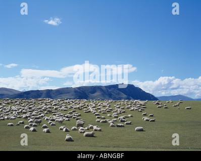 Sheep graze in New Zealand - Stock Photo