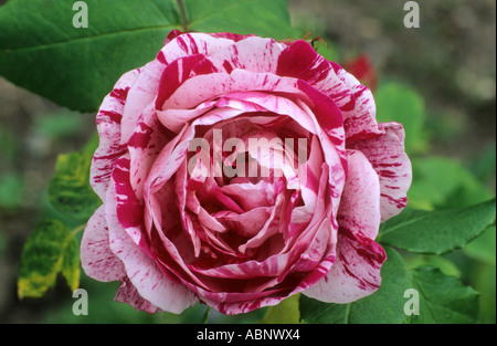 Rosa 'Ferdinand Pichard', Bourbon Rose, red, pink, two tone roses - Stock Photo
