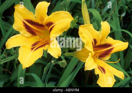 Hemerocallis 'Bonanza' - Stock Photo
