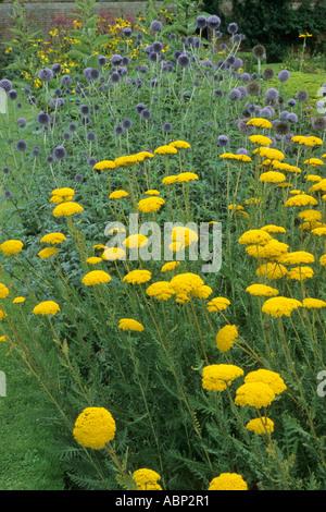 Achillea 'Moonshine', Echinops ritro, blue, yellow flower plant combination achilleas - Stock Photo