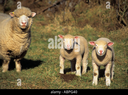 NORTH WALES UK Dorset Ham and Poll young lambs with their  mother - Stock Photo