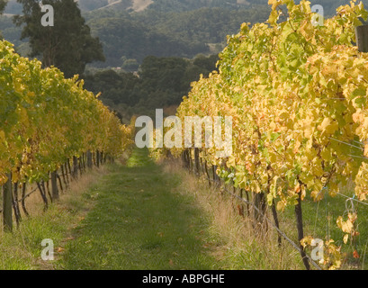 GRAPE VINES IN AUTUMN, ADELAIDE HILLS, ADELAIDE, SOUTH AUSTRALIA, - Stock Photo