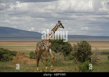 Lone giraffe wandering along the edge of Lake Manyara - Stock Photo