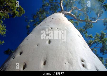 Mature lemon scented gum trees Eucalyptus citriodora in Kings Park Perth Western Australia - Stock Photo