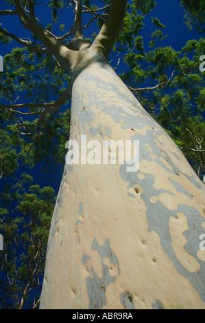 Beautiful mottled trunk of a mature lemon scented gum tree Eucalyptus citriodora in Kings Park Perth Western Australia - Stock Photo