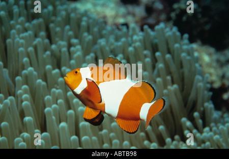 False Clown Anemonefish Amphiprion ocellaris Pulau Sipadan Celebes Sea Sabah Borneo Malaysia Member of the Damselfish family Als