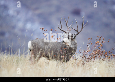 Mule deer buck during autumn rut - Stock Photo
