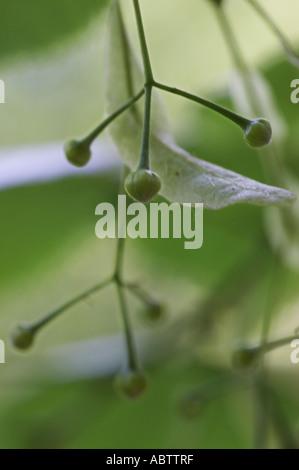 Tilia platyphyllos Limetree - Stock Photo