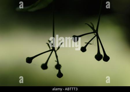 Tilia platyphyllos Limetree Lime Tree seeds backlit - Stock Photo