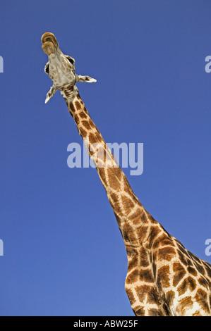 Southern Giraffe Giraffa camelopardalis giraffa Adult males can be 18 feet or 5 4 meters in height Africa - Stock Photo