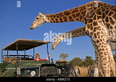 Southern Giraffe Giraffa camelopardalis giraffa With tourists on game drive Private game reserve Model released - Stock Photo