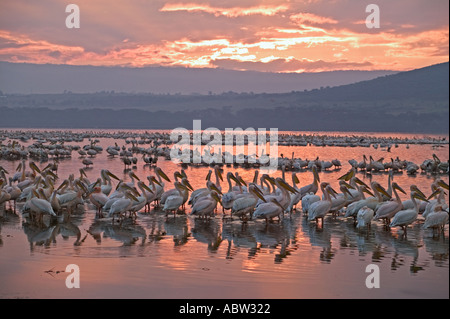 White Pelican Pelecanus onocrotalus In silhouette against sunrise Lake Nakuru Park Kenya - Stock Photo