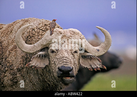 Cape Buffalo Syncerus caffer Portrait of old bull covered in mud Lake Nakuru National Park Kenya Sub Saharan Africa - Stock Photo