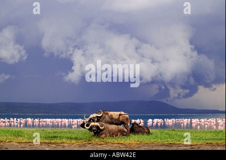 Cape Buffalo Syncerus caffer With storm clouds and flamingo in background Nakuru National Park Kenya Dist Sub Saharan - Stock Photo