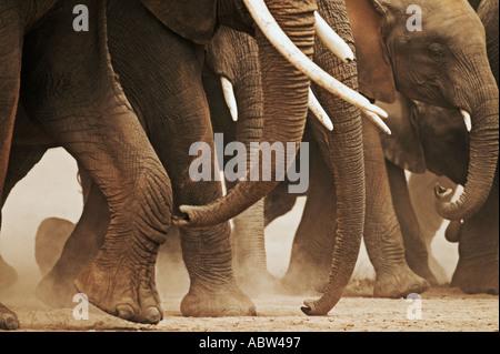 African elephant Loxodonta africana Herd on the move Amboseli National Park Kenya Dist Sub saharan Africa - Stock Photo