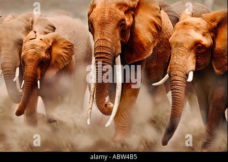 African elephant Loxodonta africana Breeding herd Amboseli National Park Kenya Dist Sub saharan Africa - Stock Photo