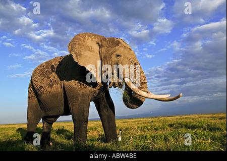 African elephant Loxodonta africana Bull elephant with large tusks Amboseli National Park Kenya Dist Sub saharan - Stock Photo