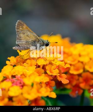 Skipper Butterfly (Hesperiidae) on Lantana. Oklahoma, USA. - Stock Photo