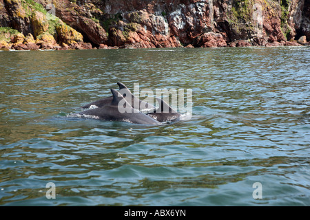 Bottlenose dolphins, Moray Firth, Scotland - Stock Photo
