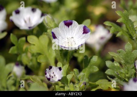 Five Spot Nemophila maculata flowers also called Baby Blue Eyes - Stock Photo