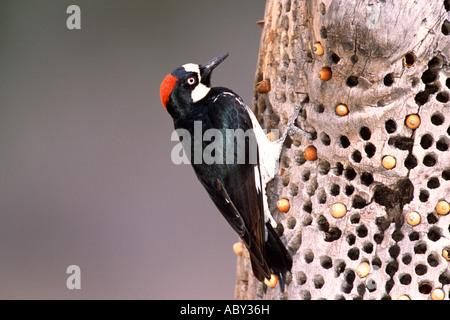 Acorn Woodpecker with Acorns