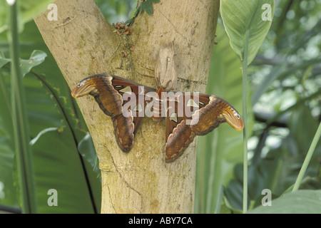 Butterfly Schmetterling Giant Atlas Moth Attacus atlas Gigantischer Atlas Falter Home S E Asia - Stock Photo